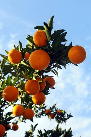 Orange tree with fruits and flowers photo