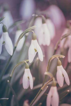 snowdrops: Pastel snowdrops