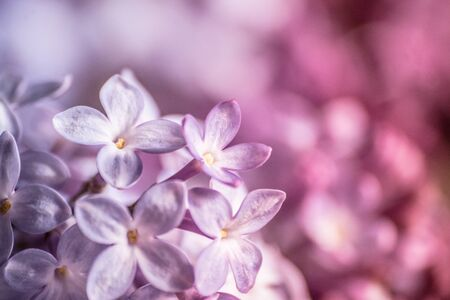 Pastel lilacs photo