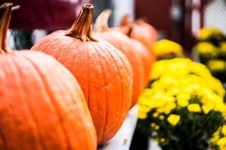 pumpkin patch: Pumpkins at the farm Stock Photo