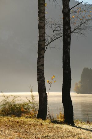 birch tree: birch tree on lakeside