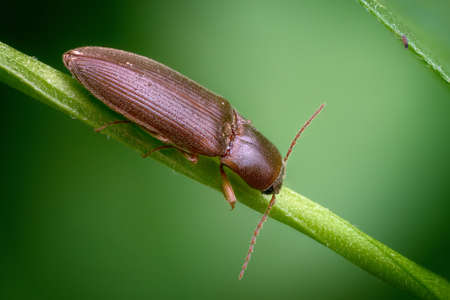 Photo of A click beetle on the stem of a plant Banco de Imagens
