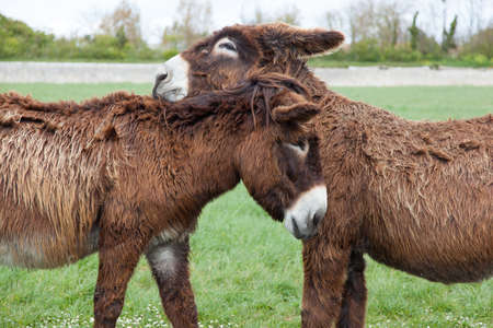 Poitou donkeys photo