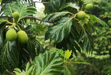 america centrale: Albero del pane (Artocarpus altilis) nella foresta tropicale. Portorico. America centrale