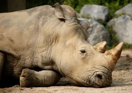 Headshot of sleeping rhinoceros photo