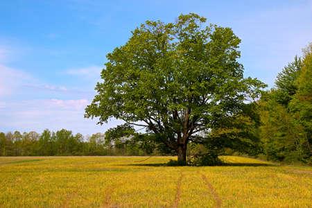 field maple: Lone Maple tree in a wheat field