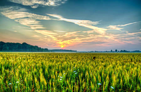 heralds: Misty morning sunrise over wheat field, heralds the dawn of a new day