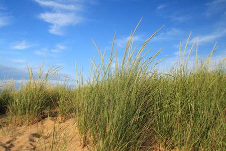 Dune grass on the sandy beach set against a gorgeous blue sky background  版權商用圖片