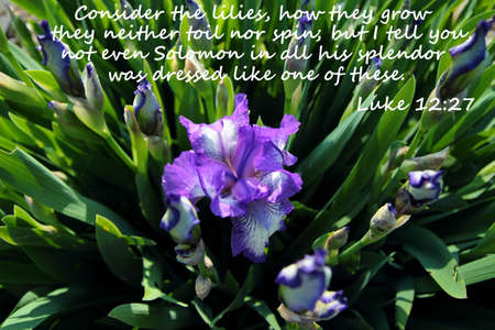 Solomons Glory  Gorgeous purple iris with New Testament Verse from the book of Luke  Stock Photo