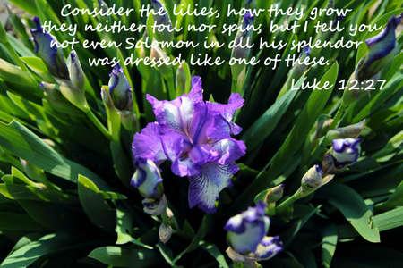 Solomons Glory Prachtige paarse iris met Nieuwe Testament Vers uit het boek van Lucas