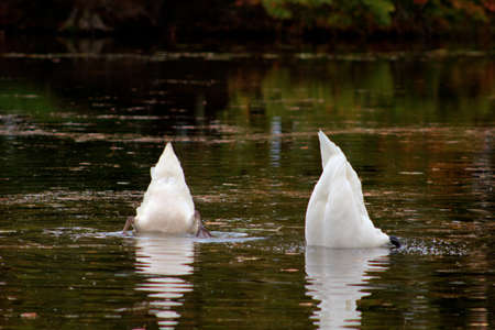 beneath: Hiding from a really bad day  Two swans with their heads beneath the water in unison