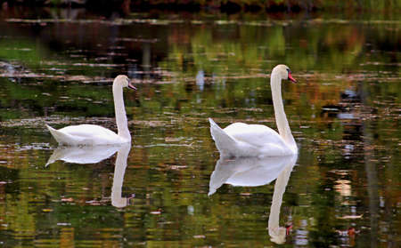 gracefully: Swans glide gracefully through tranquil waters