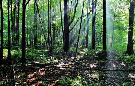 north woods: Sunbeams penetrate the darkness of the great north woods