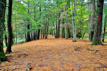 ludington: A peaceful woodland trail carpeted in pine needles meanders through a beautiful pine and cedar forest  Ludington State Park  Ludington, Michigan  Stock Photo