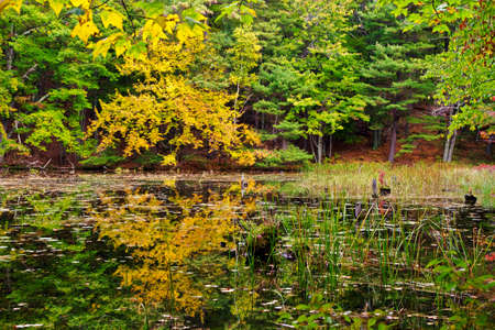 backdrop: Yellow maple in full fall color reflects on the surface of a pond  Stock Photo