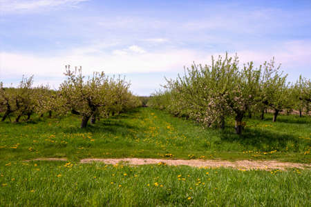 Apple Orchard  Rows of apple trees flourish in the warmth of the afternoon sun  It s going to be a bumper crop this year   Banco de Imagens