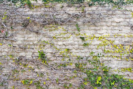 creeping: Aged mattoni bianchi parete di fondo con edera strisciante