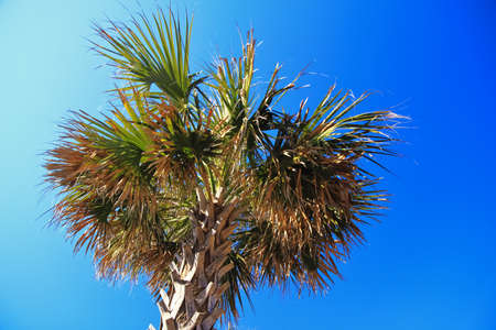 Palmetto tree set against the sunny blue South Carolina sky  The Palmetto tree is the state tree of South Carolina and is featured on their state flag     photo