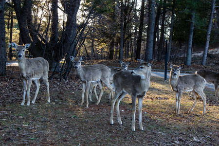 curiously: Herd of does and yearling deer looking curiously at the camera  Ludington State Park  Ludington, Michigan  Stock Photo