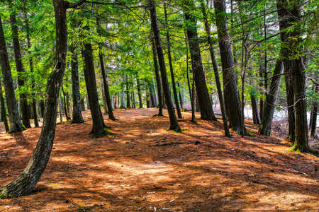ludington: A Walk Through The Woods  Peaceful forest path through a pine and cedar woods  Ludington State Park  Ludington, Michigan   Stock Photo