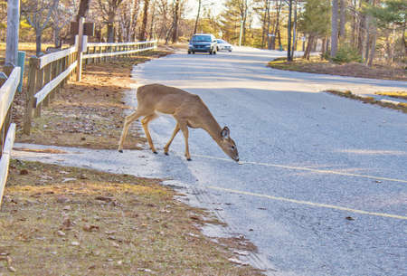 Deer in the road as oncoming traffic approaches   Stock Photo