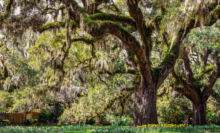 Live oak tree draped in Spanish moss with daffodils surrounding the base