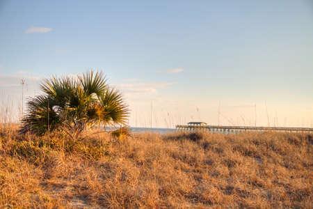 protected tree: Single palmetto tree and sea oats along the protected coastal habitat of Myrtle Beach State Park  South Carolina