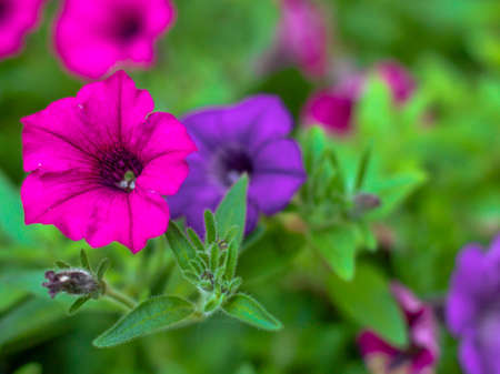 as one: Petunias reign as one of the most popular summer annuals    Stock Photo