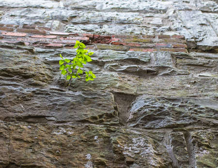 evolving: Tree sapling clings to the side of a vertical cliff face   Stock Photo
