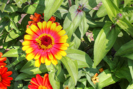 adds: Gerber daisy adds color to the spring garden