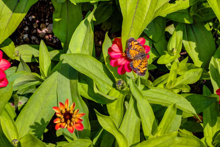 Silvery Checkerspot Butterfly on a flowerbed of Gerber Daisies   Stock Photo