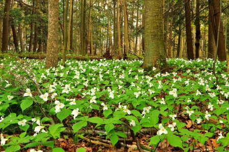 trillium: Spring Trillium. Wild Trillium carpet the forest floor of the northern woodlands.