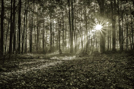 new day: Mystical Forest Sunrise. Sunbeams illuminate the dense forest as a new day begins.