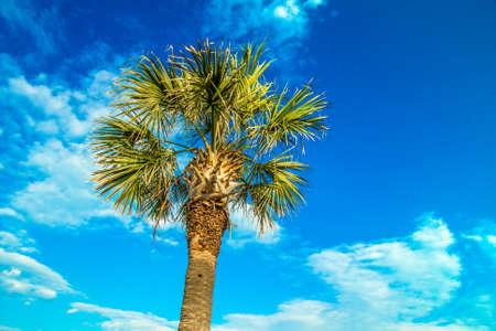 Palmetto tree set against a sunny blue Carolina sky photo