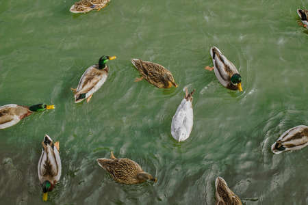 The Oddball. Seagull swimming with a group of ducks. Stock Photo
