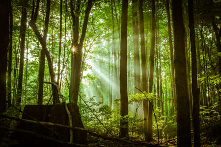 new day: Hope Springs Eternal. Sunbeams pierce the darkness of a dense forest as a new day dawns.