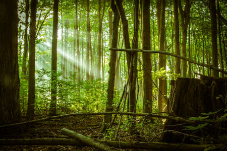 New Day Dawns.  Sunbeams pierce the darkness of a dense forest as a new day dawns. photo