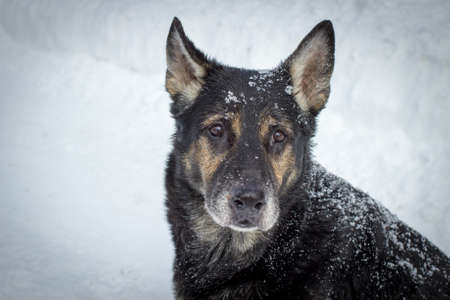 best shelter: Bring Pets In From The Cold. Older German Shepherd sitting in the snow staring at the camera with sad eyes. Stock Photo