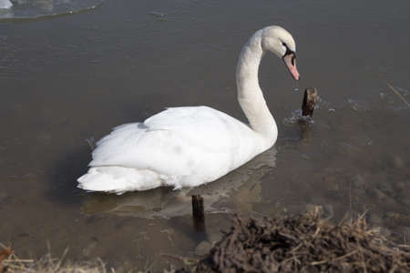 trumpeter swan: Large trumpeter swan swimming in the St. Clair River.