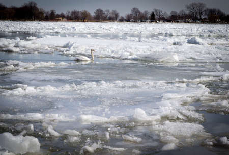 ice floes: Single Trumpeter Swan swims among the ice floes in the St. Clair River during the spring migration. Algonac, Michigan. Stock Photo