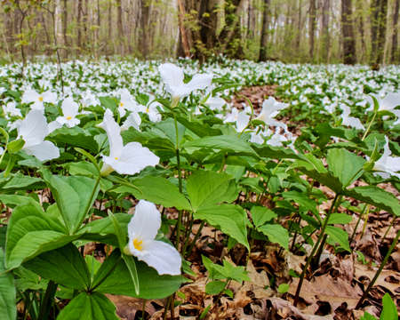 trillium: Beautiful white trillium wildflowers carpet the forest floor of a Great Lakes forest. Trillium flourish in the Great Lakes coastal habitat. They are the official wildflower for the state of Ohio and the Canadian province of Ontario.