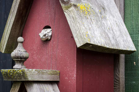 The Effects Of Deforestation. Tree Frog forced to take up residence in a rustic birdhouse. Stock Photo