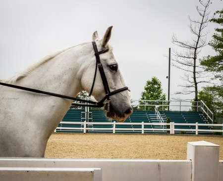 lipizzaner: Lipizzaner Stallion. Profile shot of a graceful white Lipizzaner Stallion.