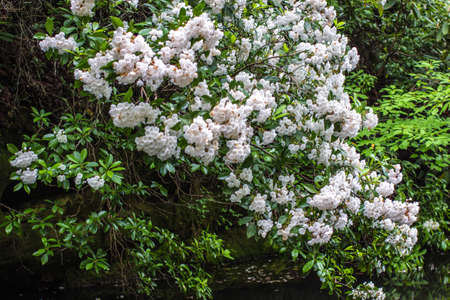 laurel mountain: Wild Mountain Laurel. Mountain Laurel grows wild in the Appalachian Mountains of Tennessee Stock Photo
