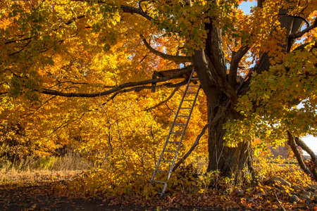 October Hunting Blind. Rickety hunters blind perched in a maple tree and camouflaged by peak autumn foliage Stock Photo