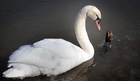 Elegant Trumpeter Swan. Close up of an elegant single Trumpeter Swan in the water. Reklamní fotografie