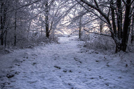 nature backgrounds: Walk In A Winter Wonderland. Fresh fallen snow at sunrise on a lane winding through a northern forest.