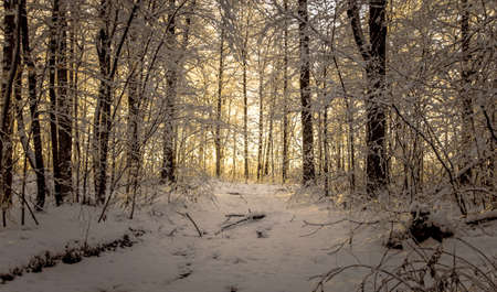 pristine: Pristine Winter Forest Sunrise. Sunrise at the horizon of a winding forest path covered in fresh fallen snow.