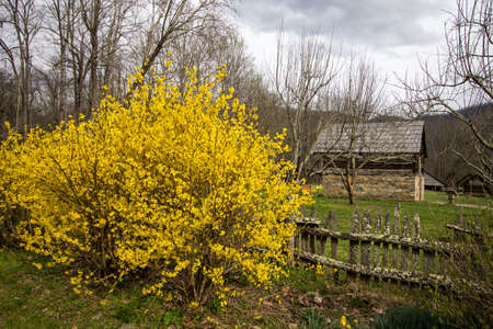 great smoky national park: Spring In The Smoky Mountains. Forsythia bush and daffodils  bloom in late March at the Great Smoky Mountain National Park with the Mountain Farm Museum in the background. Stock Photo