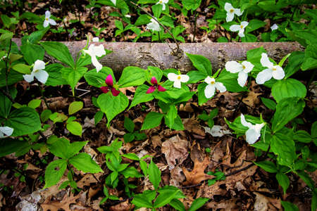 trillium: Wild Trillium In The Forest.  Trillium line the forest floor of a Great Lakes coastal habitat. Trillium are the official wildflower of Ontario and Ohio. Certain types are considered endangered and are protected.